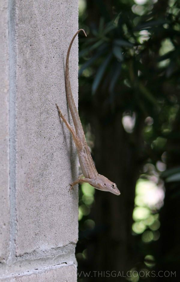 church lizardWM