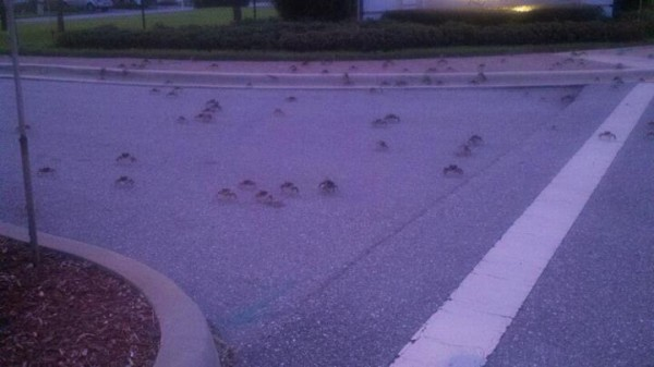 I know this isn't the greatest photo, but this gives you an idea of what we saw outside of our neighborhood the first night we encountered crab invasion!